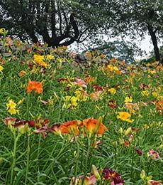64 best great ozark highlands perennials flowering shrubs images hemerocallis daylily plants daylilies for your long lived perennial garden available at white flower farm mightylinksfo