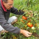 Vos plants de tomates sont-ils déjà tombés malades ? • PotagerDurable.com