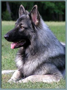 shiloh shepherd ~~~~ The sweeetest dogs ever!