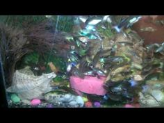 How to get beautiful collection of guppies fish All about FEEDING EP #3