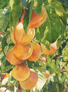 Life in Full Color - Watercolors by Cara Brown - Apricots in the Sun