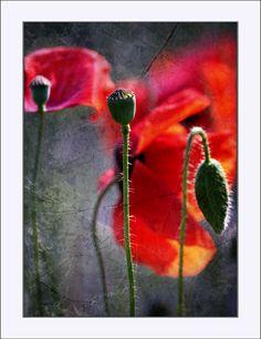 ..love poppies...