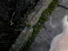 Labrador Retrievier - Bili Adekatos