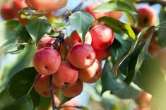 The Total Guide To Growing & Caring For A Crabapple Tree Dwarf Cherry Tree, Weeping Cherry Tree, Apple Plant, Apple Tree, Sour Fruit, Red Fruit, Laurus Nobilis, Tree Seedlings, Living Off The Land