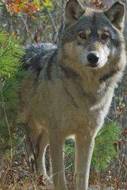 Gray Wolf   Wild animals in Poland   Pinterest   Gray wolf, Wolf and ...
