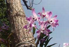 A través del tiempo la orquídea ha sido utilizada como afrodisiaco, para calmar la tos y en desinfección de heridas.