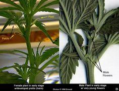 Come riconoscere la pianta maschio e la femmina