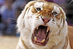 tiger tiger burning bright by Khushroo Ghadiali, via Flickr