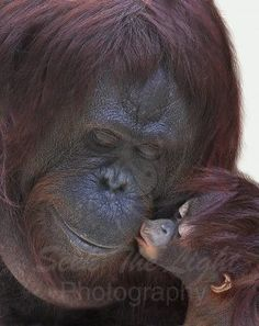 The orangutan mother and baby kiss. Primates, Mammals, Cute Baby Animals, Animals And Pets, Funny Animals, Wild Animals, Animals Kissing, Animals With Their Babies, Monkeys Animals