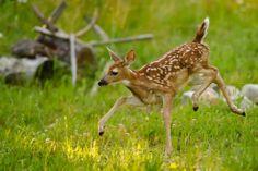 fawn learning to run