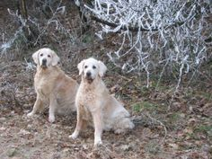our goldens Sandy and Nancy