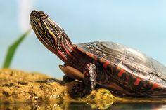 Red Turtle (Midland painted turtle)