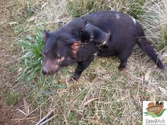 Aggy and her Tasmanian devil joey hitching a ride at Devil Ark