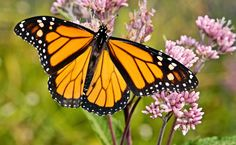 Canada May Soon Protect Monarch Butterflies As An Endangered Species   Care2 Causes