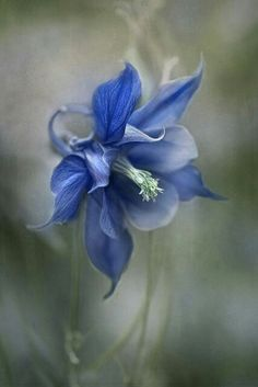 Beautiful Flowers Garden: Beautiful Blue Columbine by Mandy Disher I love this flower! And yet we can't forget Columbine. Exotic Flowers, Amazing Flowers, My Flower, Pretty Flowers, Cactus Flower, Flower Art, Flower Photos, Planting Flowers, Flowers Garden