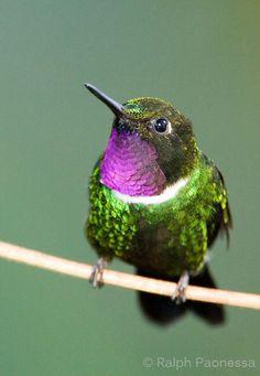 Gorgeted Sunangel - Ecuador Hummingbirds - Ralph Paonessa Photography Workshops