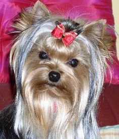 Yorkshire Terrier kept in full show coat