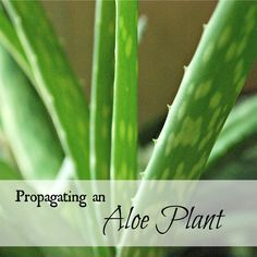 Propagating an Aloe Plant