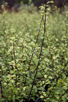Pittosporum tenuifolium 'Harley Botanica' (similar to Ivory Sheen but with smaller leaves) Small Leaf, Drought Tolerant, Shrubs, Photo Credit, Backyard, Landscape, Garden, Plants, Venice