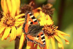 Kuvia neljästä vuodenajasta: Elokuu Moth, Butterflies, Insects, Flowers, Animals, Animales, Animaux, Butterfly, Animal