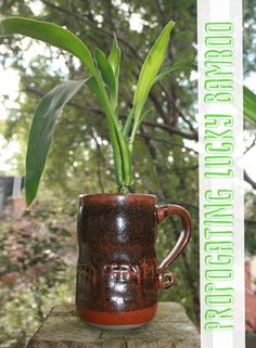 Propagating Lucky Bamboo | ThriftyBelow.com