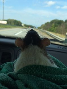 Traveling rat