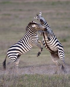 """LOT 4 ROBERT ROSS """"FIGHT FOR THE FEMALE"""" 8"""" x 10"""" framed to 11"""" x 14""""  Photography - While watching tow cheetahs chasing wildebeest I suddenly had this urge to turn around.  Behind me were two male zebras fighting for the right to a female.  This was my 12th trip to Tanzania and the first time I had seen zebras fight like stallion horses.  This was in Ngorongoro Crater in Tanzania, one of the most beautiful settings in Africa.  Retail Price $125 Starting Bid $75"""