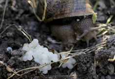 A snail (Helix Aspersa) sits next to her eggs in a farm in Vienna July 10, 2013. Andreas Gugumuck owns Vienna's largest snail farm, exporting snails, snail-caviar and snail-liver all over the world. The gourmet snails are processed using old traditional cooking techniques and some are sold locally to Austrian gourmet restaurants. (Photo by Leonhard Foeger/Reuters) http://avaxnews.net/fact/Snail_Farming_in_Austria.html