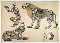 human and lion skeleton      From: 'A comparative view of the human and animal frame' By Benjamin Waterhouse Hawkins (1860)