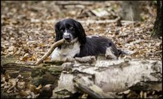 English Springer Spaniel by www.jferrettphotography.co.uk