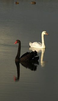 ©Vincent Brun Black and white swans,,,