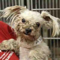 Mesa, Arizona - **URGENT** Shih Tzu. Meet , a for adoption. https://www.adoptapet.com/pet/20453588-mesa-arizona-shih-tzu-mix