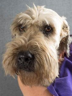 Petango.com – Meet Misty May, a 8 years Terrier, Soft Coated Wheaten available for adoption in COLORADO SPRINGS, CO