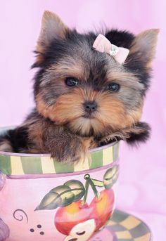 Teacup Yorkie Puppy by TeaCups, Puppies & Boutique