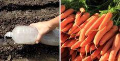 Od minulé sezóny je obyčejný škrob v mé zahradě považován za poklad: Děkuji sousedce za tuto radu, využijete to celou sezónu! | iRecept.cz Korn, Carrots, Ale, Vegetables, Tips, Gardening, Drinks, Plant, Lawn And Garden