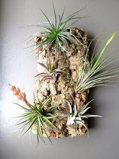 Exotic Air Plants on Cork Bark for wall mount or display! A living piece of art. (Medium size) on Etsy, $48.00