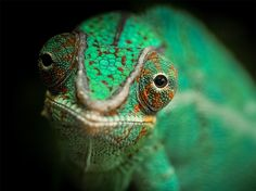 A chameleon looks into the camera in this National Geographic Photo of the Day…