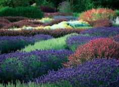 Barberry and lavender