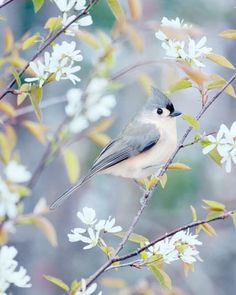 Tufted Titmouse in Spring - Fine Art Bird Photography Print by Allison Trentelman | rockytopstudio.com