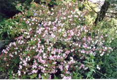 """Weigela x """"Carnival"""" - Diervilla / Weigela 