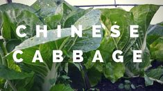 How to grow Chinese cabbage for early spring harvest. This is how I am self-sufficient on less than 1 acre of land. Chinese Cabbage, Harvest Season, Early Spring, Plant Leaves, Acre, Landscape, Plants, Gardening, Beginning Of Spring