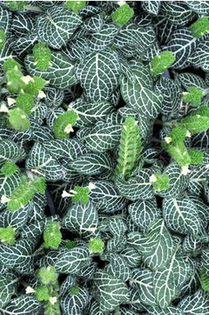 Fittonia White - This beautiful evergreen with its dark green leaves with white veins makes a great pot plant for your home or office.