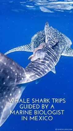 Seeing a whale shark for the first time is really breathtaking, especially underwater you get an experience you will never forget. There is no reason to be scared about seeing a whale shark but there are reasons why we should protect them from 'us'. Join a trips and participate in marine conservation. Whale Shark Diving, Cave Diving, Deep Diving, Best Scuba Diving, Scuba Travel, Underwater Pictures, Marine Conservation, Diving Equipment, Oceans Of The World