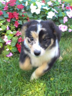 15 Best Australian Shepherd Puppy, Puppies, & Dogs for Sale images