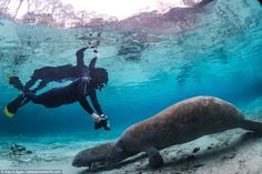 Gentle giants: There are around 6,000 manatees across the entire state and the average adult is 10' long...