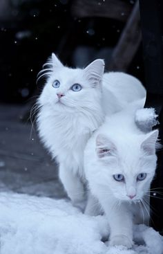 Norwegian Forest Cats checking out the snow
