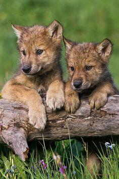 Loup chiots cherche maman par Mike Dodak