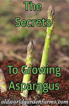 How To Grow Asparagus. An Incredible Perennial Crop! - How To Grow Asparagus. An Incredible Perennial Crop! - Old World Garden Farms How To Grow Asparagus. An Incredible Perennial Crop! How To Grow Asparagus - A Nutritional Perennial Vegetable Crop - Perennial Vegetables, Organic Vegetables, Growing Vegetables, Gardening Vegetables, Growing Herbs, Potager Palettes, Comment Planter, Home Vegetable Garden, Organic Gardening Tips