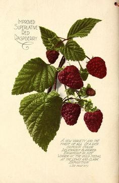 Chas. H. Lilly Co - Annual catalogue -1907 -Raspberries