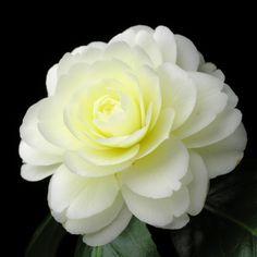 ツバキ'ダーロネガ' #椿#ツバキ#Camellia